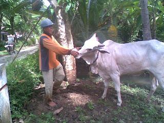 BUDIDAYA SAPI