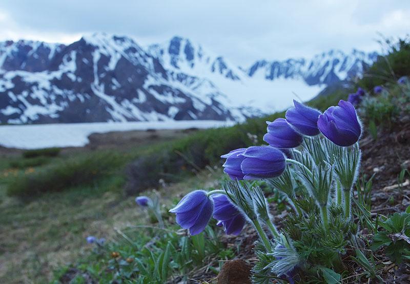 Цветы фото республика алтай горный