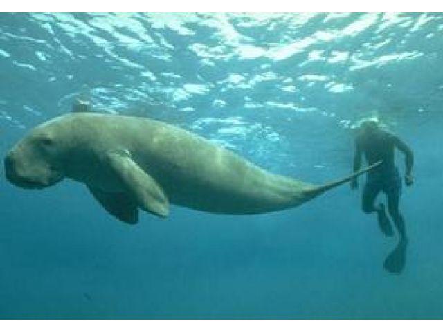Gambar Ikan Dugong