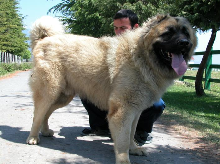 About Caucasian Mountain Dog
