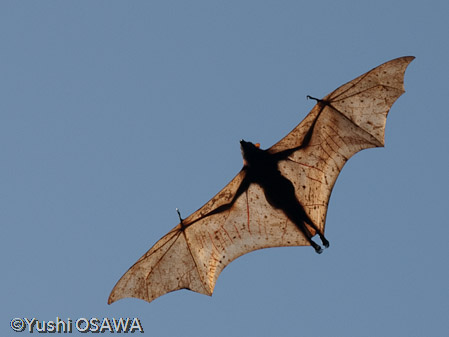The giant golden-crowned flying fox, also known as the golden-capped ...