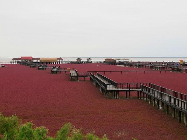 panjin red beach 72 من أجمل شواطئ العالم '' الشاطئ الأحمر '' في مدينة بانجين بالصين