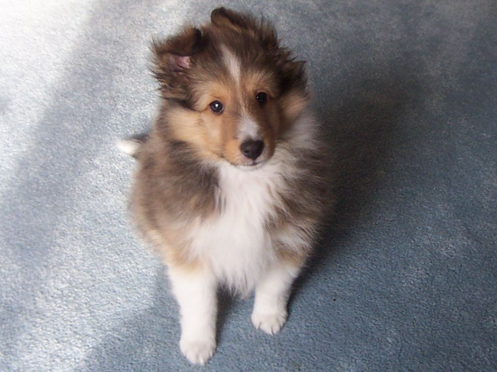 collie puppy picturescorgi puppy pictures