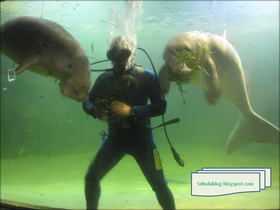 mamalia laut sedang asyik makan rumput