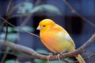 Kicau Burung Kenari Terbaik