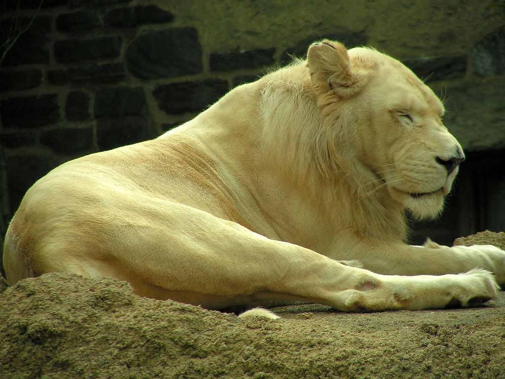 26. White Lion by Art G