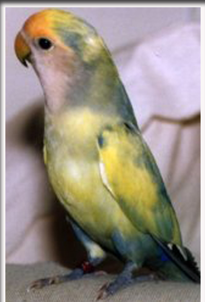 Love Bird Warna Biru