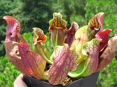 SARRACENIA (S. Purpurea. Planta Arrojadora)