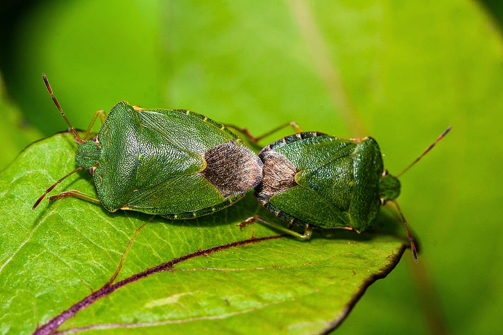 Common Green Shieldbug (mating) - Great Holm, Milton Keynes