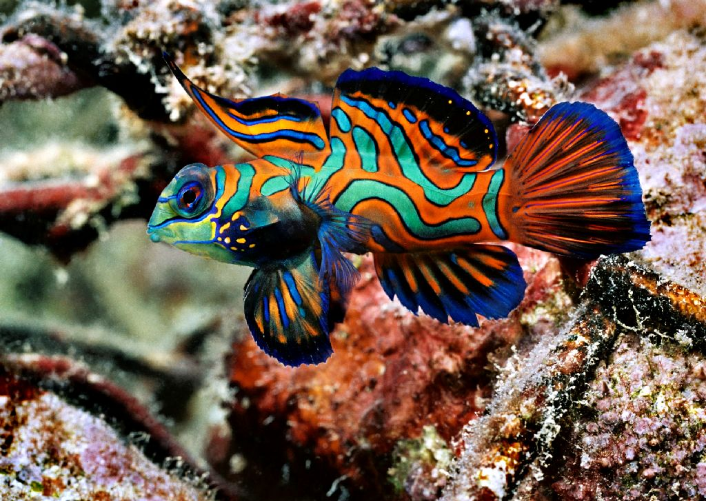 life of mandarin fish life of sea