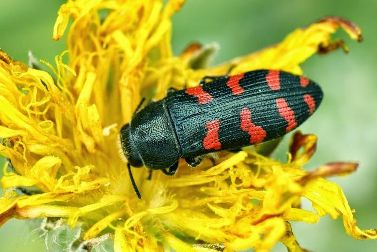 Acmaeodera quadrizonata