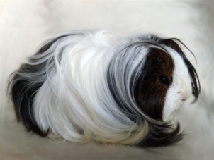Animalspace la cavia o percellino d 39 india for Porcellino d india pelo lungo