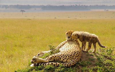 La vida en las praderas (Leopardos en su hábitat natural)