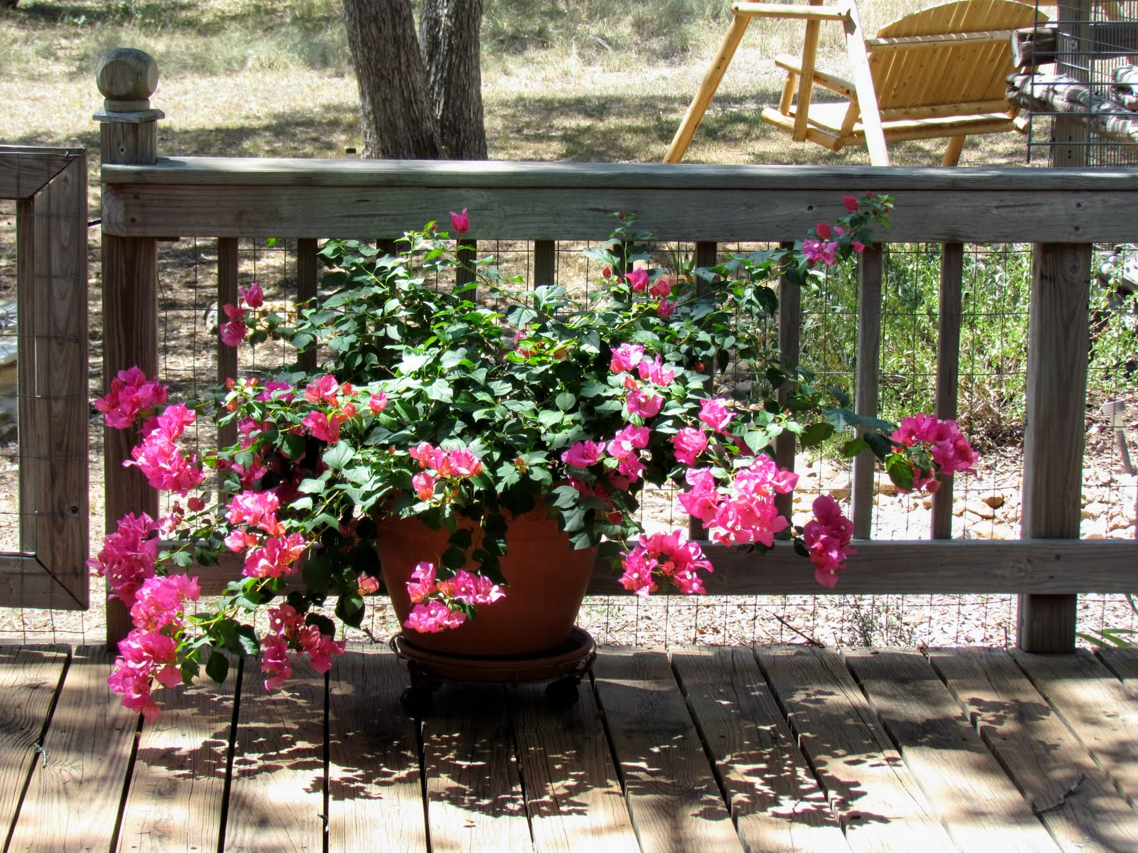 bougainvillea in pots how to make it bloom