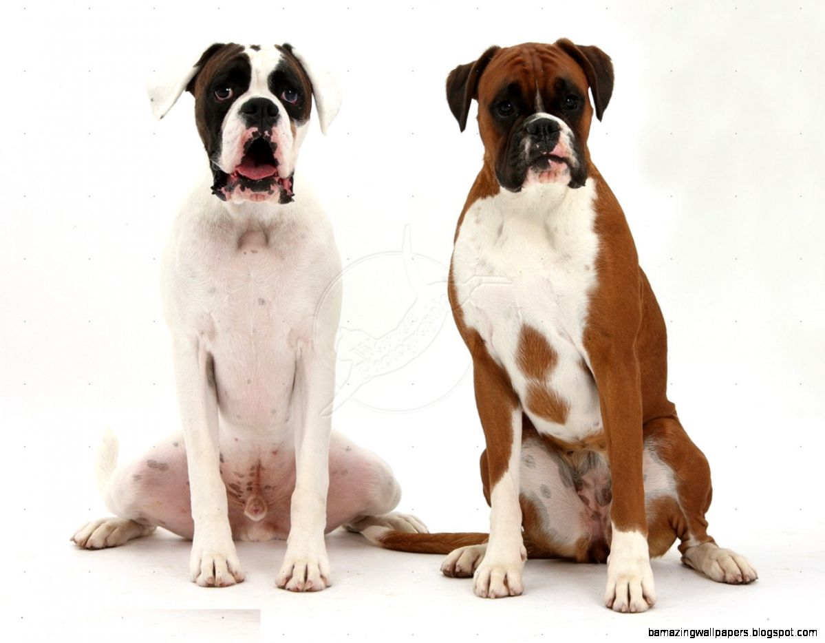 Boxer Dog Desktop Wallpapers  Boxer Dog HD Images  Cool Wallpapers