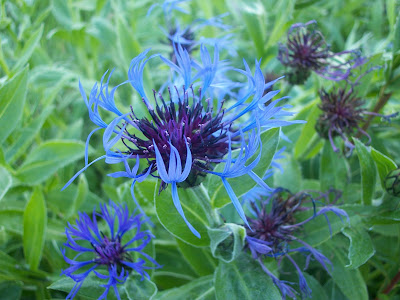 Cornflower (Centaurea Cyanus) Overview, Health Benefits, Side effects