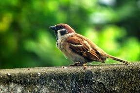 Rapatnya Suara Burung Gereja, Suara Andalan Kicau Mania