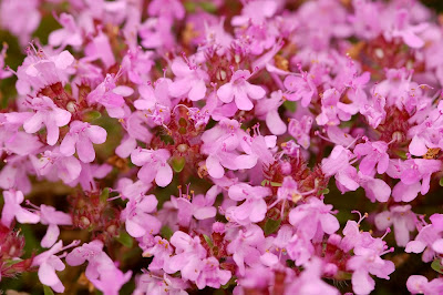Hairy Thyme Thymus praecox