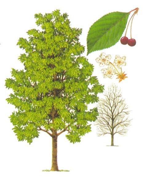 Creadea il ciliegio triste for Albero ciliegio
