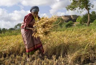Woman Harvesting Crop