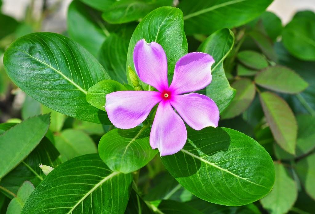 Manfaat dan Khasiat Bunga Tapak Dara (Catharanthus roseus L. G. Don)