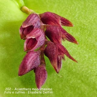 Pleurothallis modestíssima