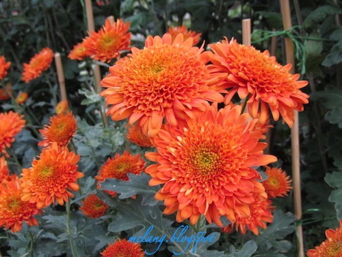 Orange Red Chrysanthemum   Flowers