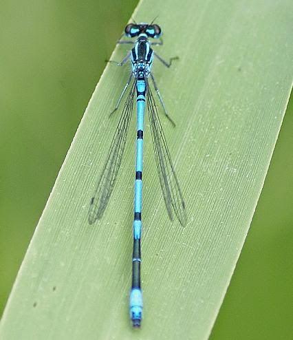 azure damsel flies fly - photo #26