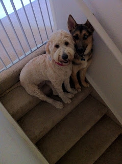 Lily the Goldendoodle and Hudson the German Shepherd on the stairs