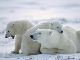 Polar Bear Family Manitoba Canada