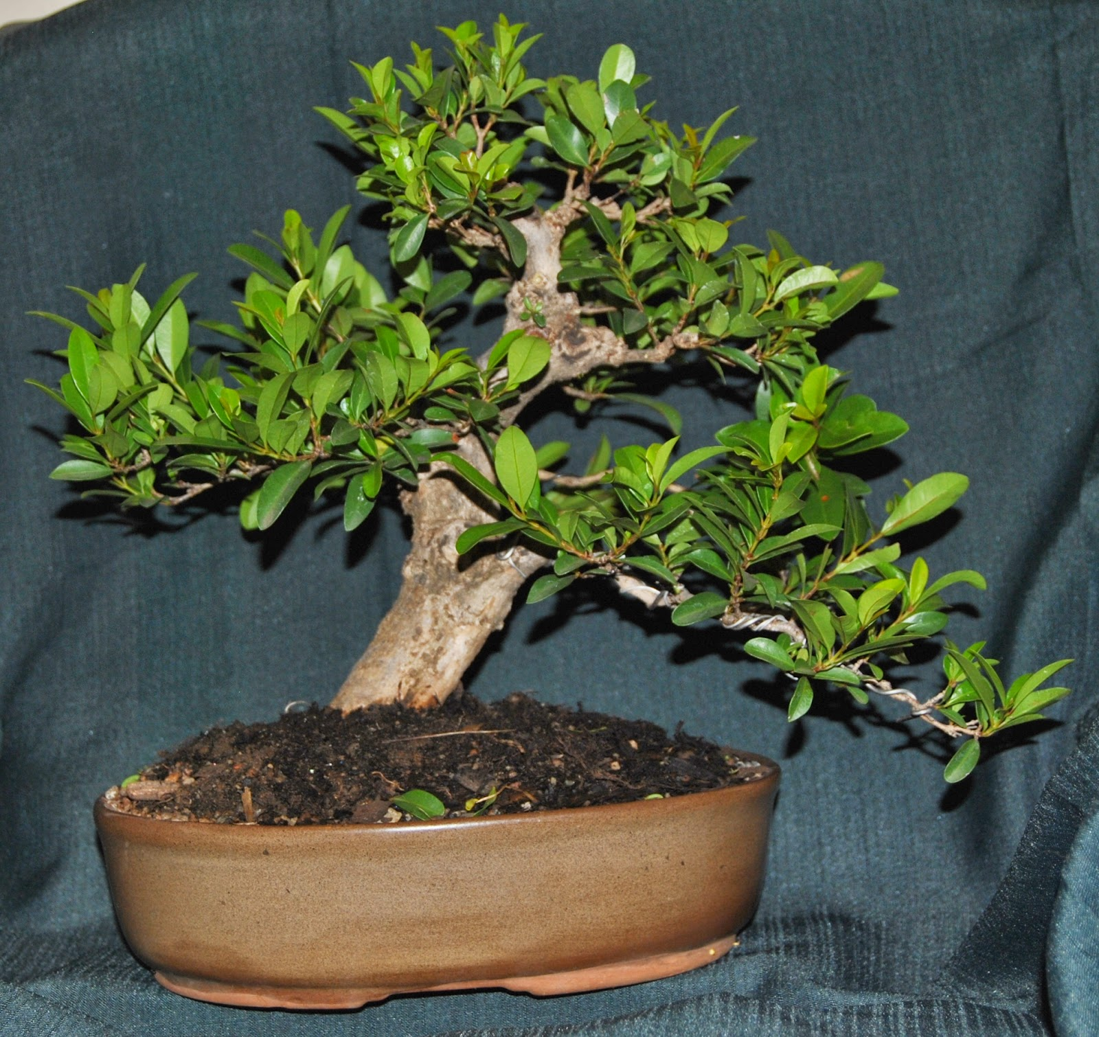Brush Cherry Eugenia Incredible Progression LENNARD39S BONSAI
