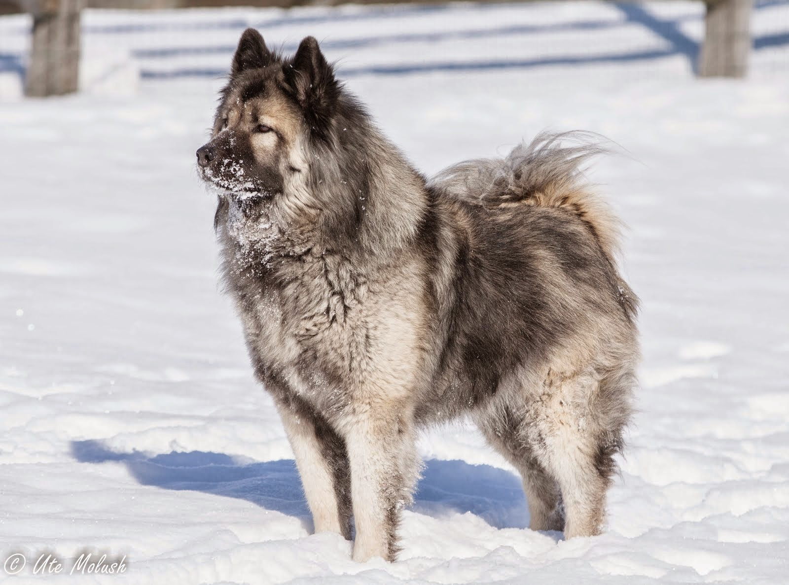 North Star Eurasier Blog