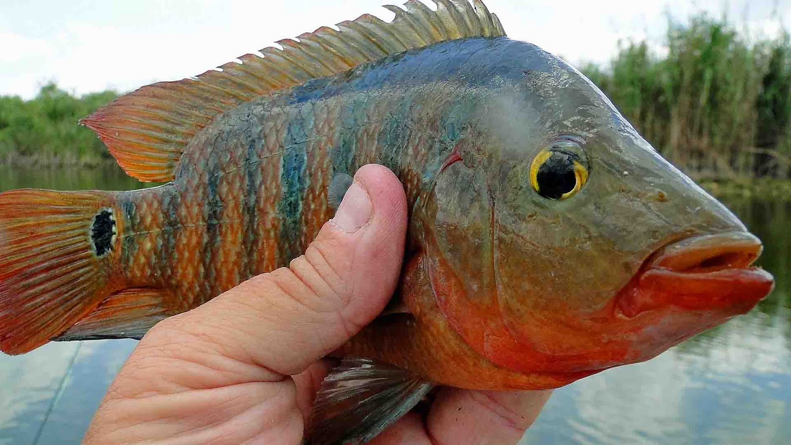 There still are a few Mayan cichlid left in The Everglades.