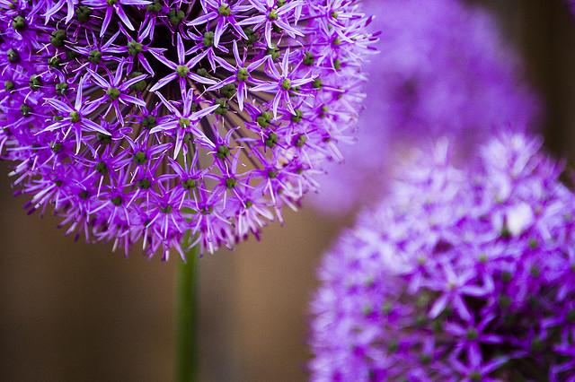 El jardinero plantas y flores mes a mes qu plantar - Como cultivar crisantemos ...