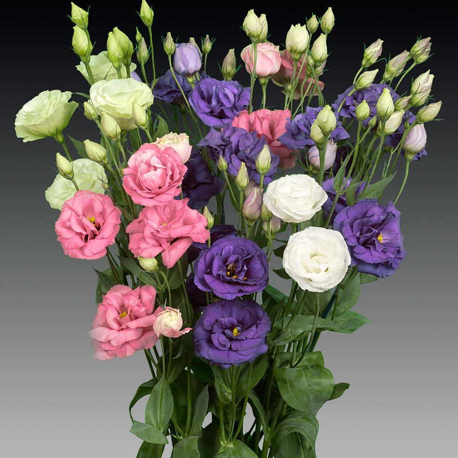 Utilizzazione Il Lisianthus viene coltivata a scopo ornamentale in vaso e  per il commercio dei fiori recisi molto apprezzati per il loro design  semplice ed