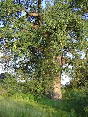 Drzewo baobab, zdjęcie