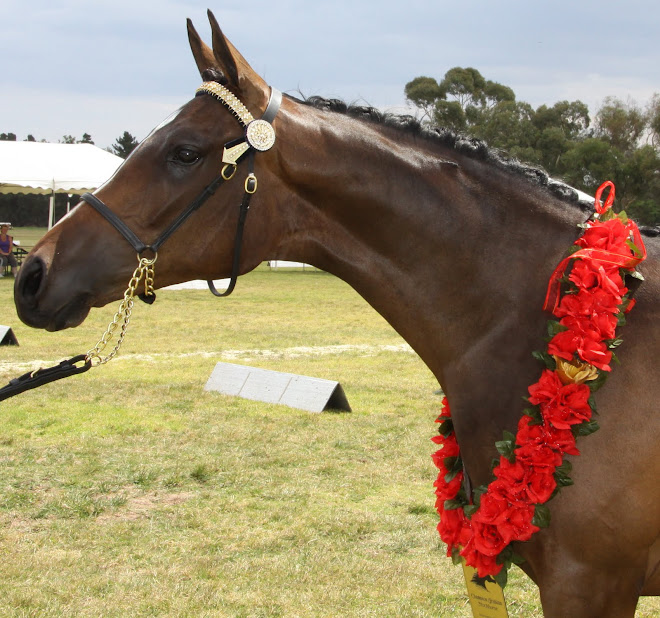 Yarradene Priscilla 'Cilla' Champion Arabian Stockhorse.