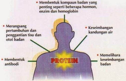 kepentingan protein kepada tubuh manusia