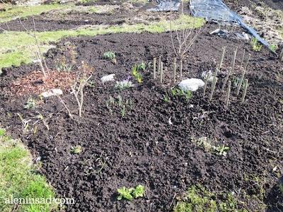 крокусы, сиреневые, весна, веcной, ростки, черенки, аленин сад, aleninsad