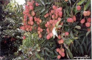 Выращивание личи в саду 50