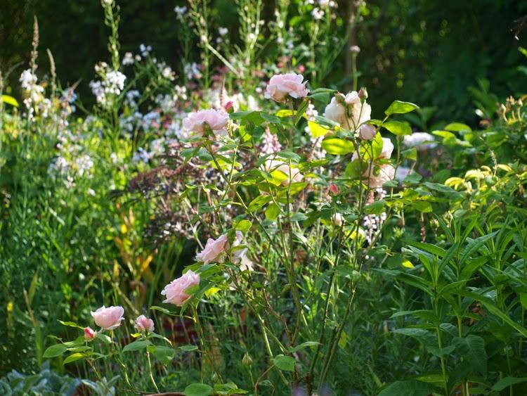 Lyserød engelsk rose i staudebed med mørke toner. Dramatik til pastelfarvet bed
