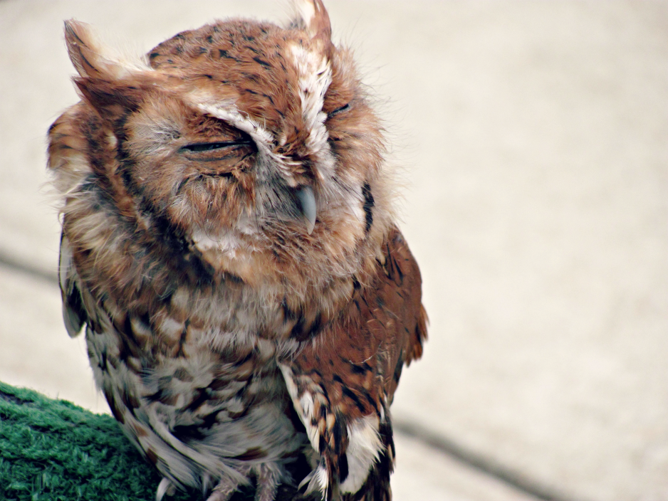 bugfest-2013-raleigh-nc-otis-the-screech-owl