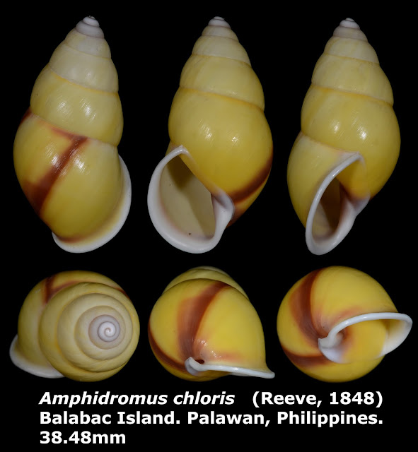 Amphidromus chloris 38.48mm