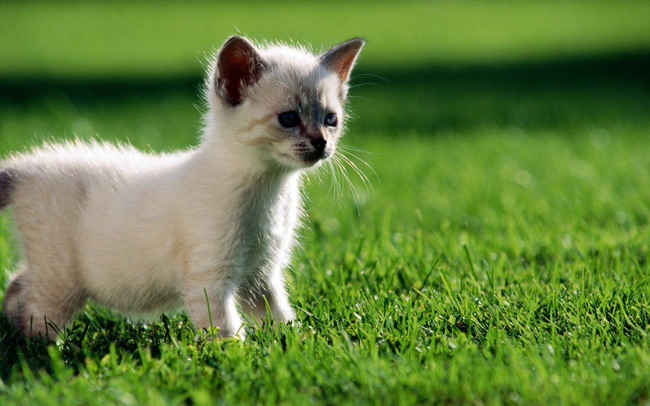 Kittens wallpapers pets cute and docile for Sfondi desktop animali
