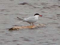 Image of a Common Tern