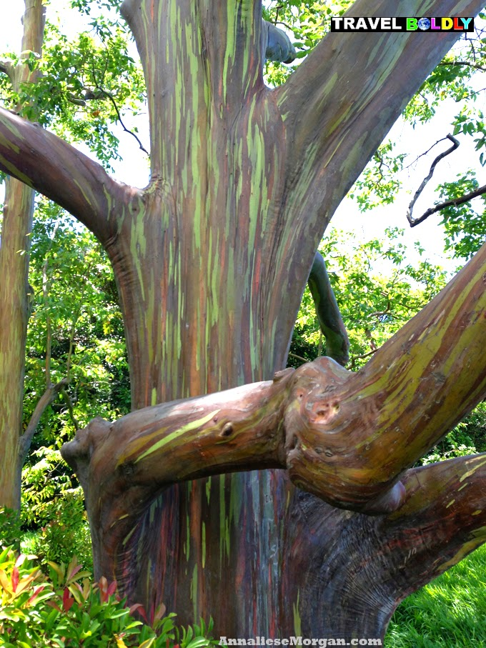 Rainbow Eucalyptus Tree off the Hana Highway, Maui AM. photo by Annaliese Morgan for Travel Boldly