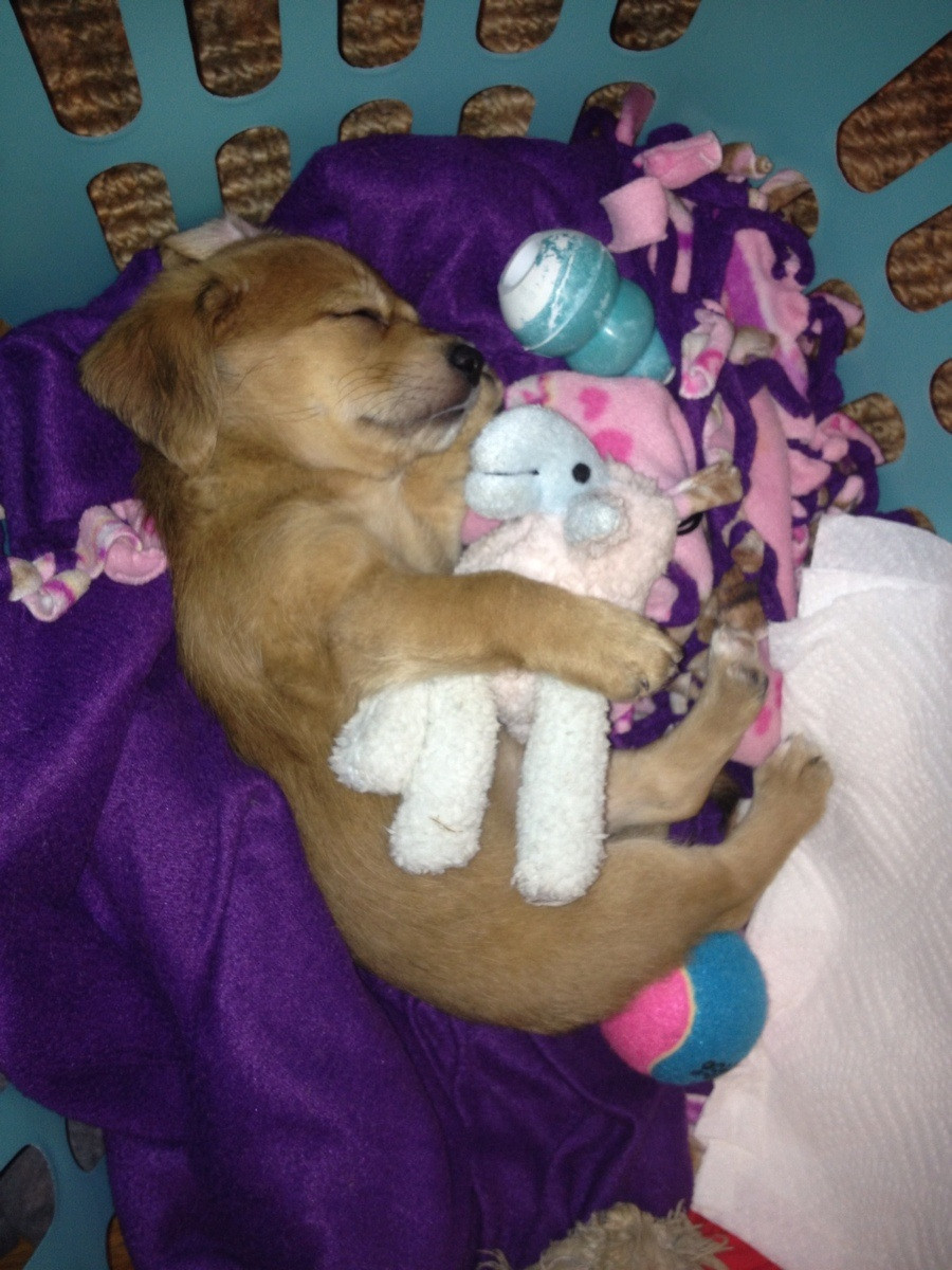 cute sleeping puppies, puppy sleep with his stuffed animal