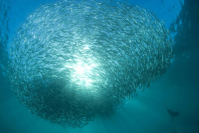 The Largest Fish Shoal on Earth