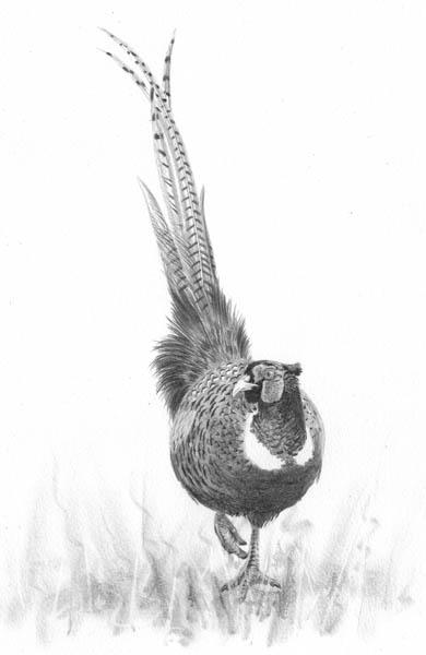 a third pheasant
