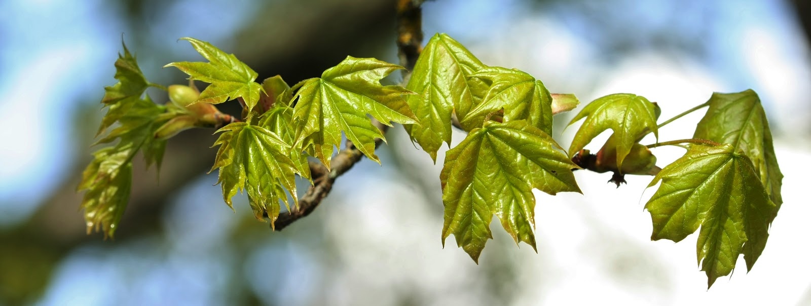 A branch of Bigleaf Maple leaves just emerging in spring
